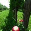 Colli di Poianis - Rebstock mit Rose