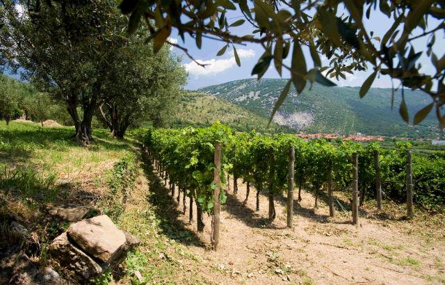 Ein Blick in den Weingarten der Azienda Agricola Sancin (Quelle: Sancin)