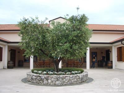 Castelvecchio - Olivenbaum