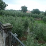 Castelvecchio Olivenbaeume